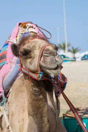 bridle: A portrait of a transport camel wearing a red bridle