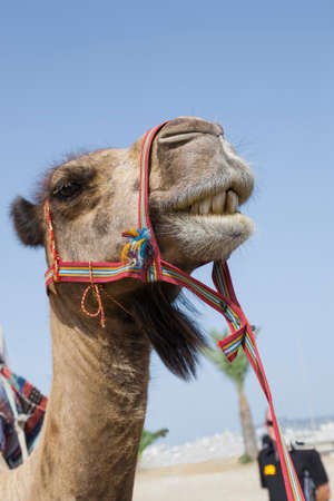 bridle: Cute transport camel with red bridle, photographed showing his teeth Stock Photo
