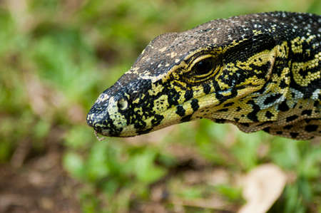 A closeup shot of a yellow and brown colored monitor lizard head Stock fotó