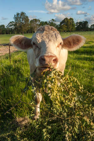Image of a cow eating grass in a vast field covered in sunlight Stock fotó