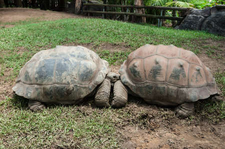 ancient turtles: Two turtles enjoying each others company in a zoo