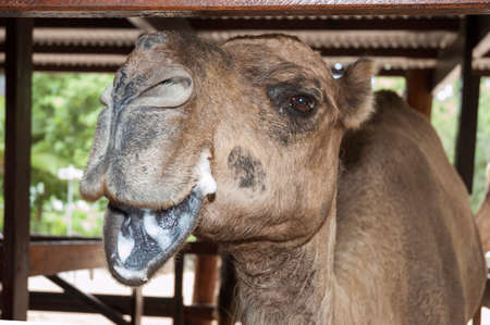Camel posing for a camera in a zoo Stock fotó
