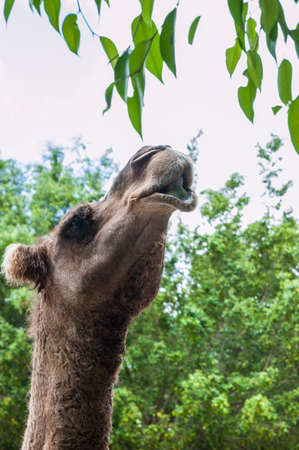 Picture of a camel trying to reach tree leaves in its enclosure in a zoo Stock fotó