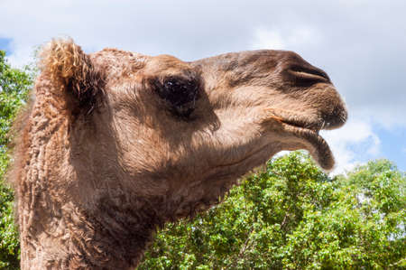 Side picture of an adult camels head with trees and sky in the background Stock fotó