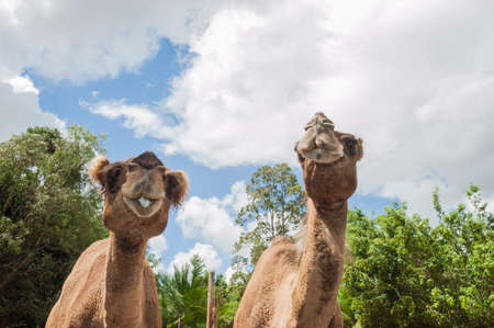 Two camels enjoying each others company on a sunny day