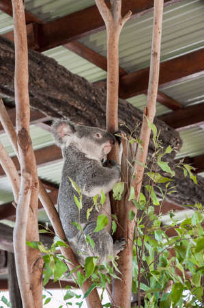 enclosure: Koala climbing a tree in its enclosure in a zoo