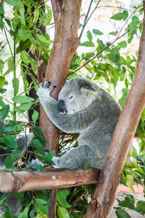 Sleepy koala resting in a tree, holding on to a branch
