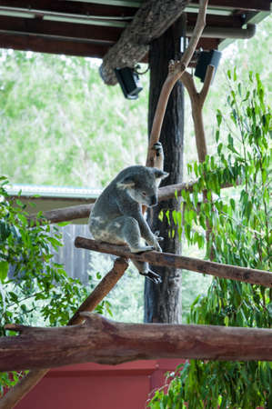 Young koala playing in its enclosure in a zoo