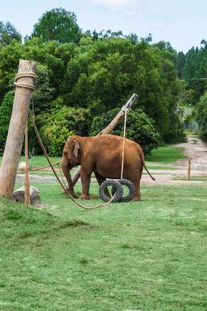 enclosure: Elephant playing in its enclosure in a zoo