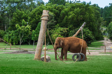 Asian elephant walking in a big enclosure in a zoo