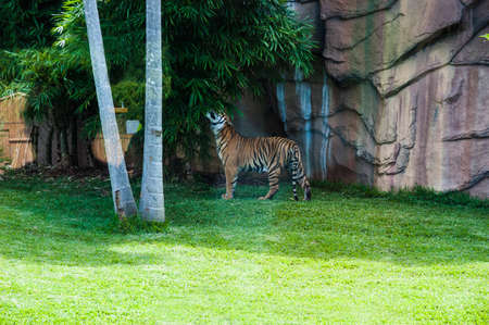Young tiger exploring its enclosure on a sunny day in a zoo Stock fotó