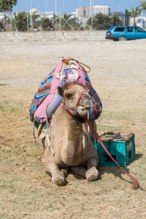 Camel with bags on its back resting on the ground in hot sunlight Stock fotó
