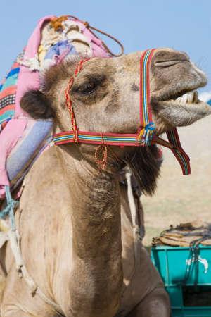 Smiling transport camel resting in sunshine