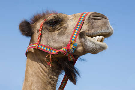 Portrait of a traditional transport camel with red bridle captured on a sunny day