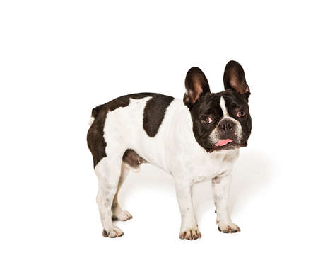 Image of a white and brown french bulldog taken in a studio with white background Stock fotó