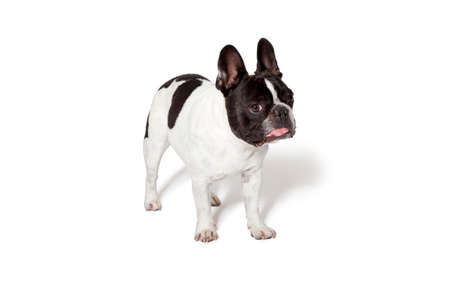 White and brown french bulldog puppy photographed in a studio with white background Stock fotó