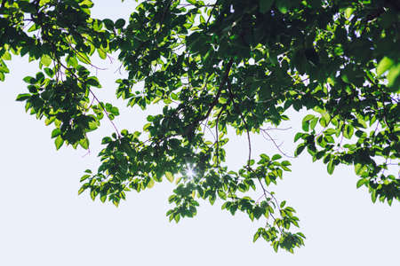 Tree with green leafs and sun shining through leaves
