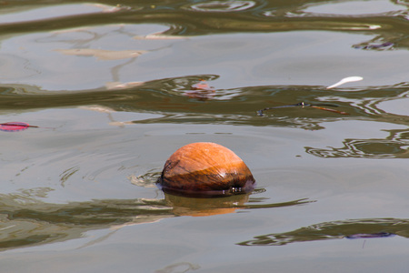 ethan: Dry coconut floating in the river
