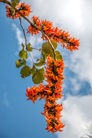 Spathodea flowers,African tulip tree, Fire bell, Fouain tree, Flame of the Forest. photo