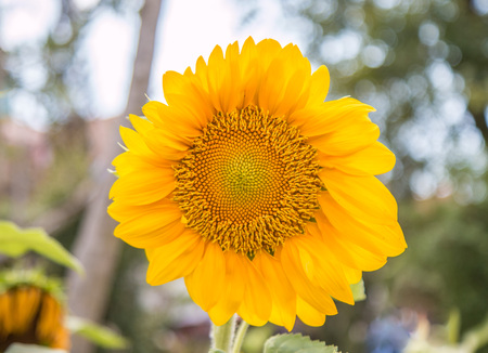pappus: Sunflowers or Helianthus annuus field in the garden Stock Photo