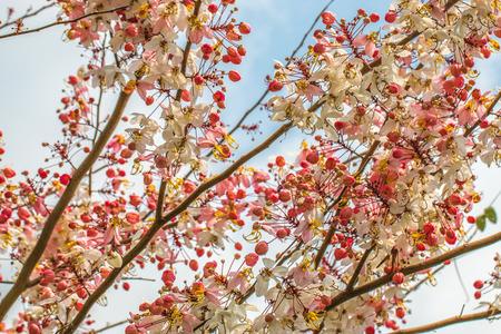 Wishing tree, pink shower, cassia bakeriana craib flower photo