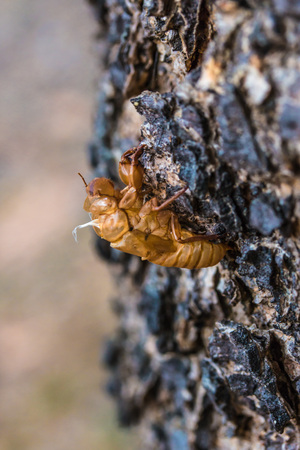 Cicada shell on the tree bark in the forest photo