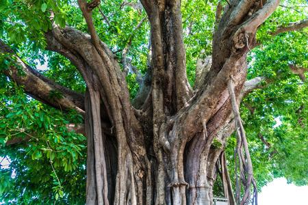 buch: Ficus lacor Buch big tree