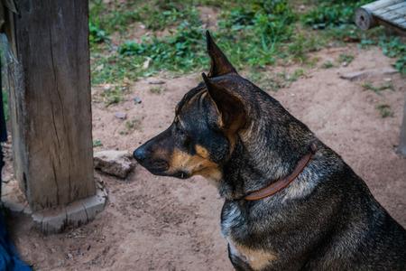 side shot: headshot of a thai dog, side shot