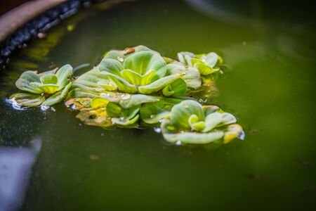 salvinia: Green Pistia stratiotes in pottery, green floating water lettuce Stock Photo