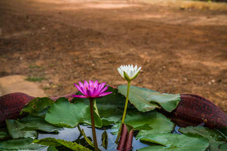 purple and white Lotus flowers in the garden