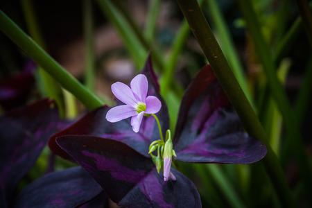 false shamrock: Oxalis triangularis, commonly called false shamrock flower