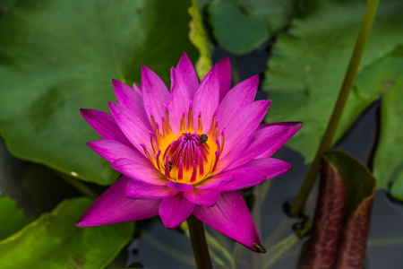 purple Lotus flower with Honey bees collect ing pollen