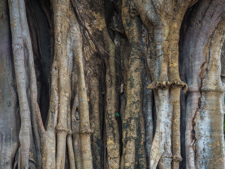 the big tree body show many of complicated root tight and surround the tree 版權商用圖片