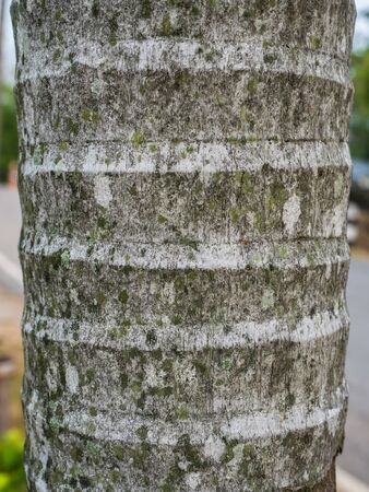 texture of Coconut tree for background