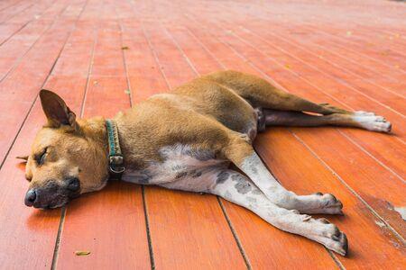 brown homeless thai dog sleep on the floor
