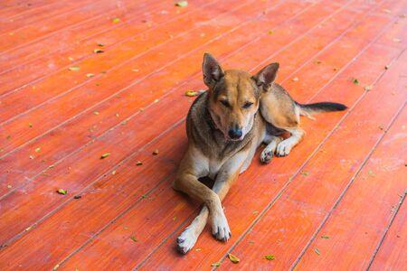 Happy brown homeless thai dog lie on the floor Banco de Imagens