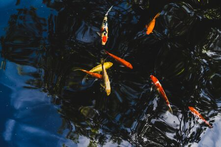 Colorful Koi fish swimming in a pond in garden Imagens