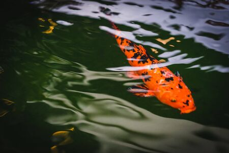 Colorful Koi fish swimming in a pond in garden Imagens - 128555733