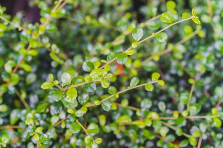 Natural Green leaves for background and wallpaper which it can use for online advertisement