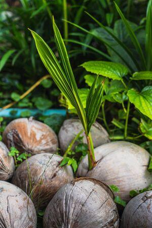 Coconut shoots for planting, new born coconut tree, tropical plants Zdjęcie Seryjne - 129249054