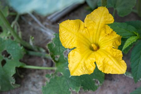 Pumpkin flower blossoming. Pumpkin flower flower blossoming in the backyard Фото со стока