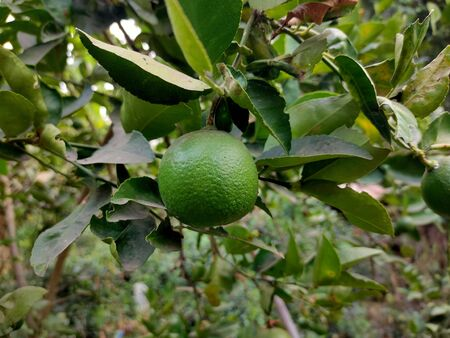 The Close up of green lime on the tree with out of focus blur background