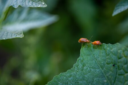 The Couple of ladybugs on a Pumpkin leaves over green background