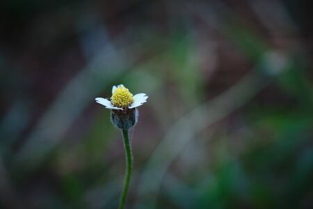 A White yellow tiny wild daisy grass flower with blur background.