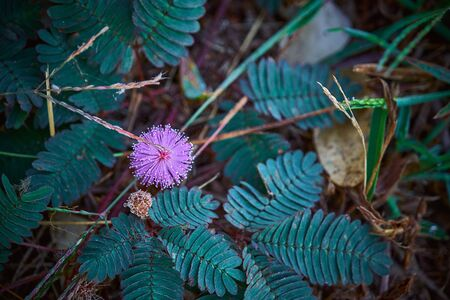The sensitive plant, sleepy plant or the touch me not.herb flower.