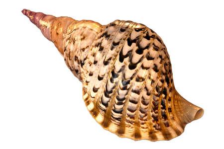 mollusk: Charonia lampas lampas