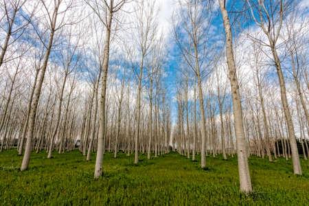 casks: Poplar trees forest