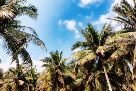 millonario: Palmeras en la Isla de Hainan - China Foto de archivo
