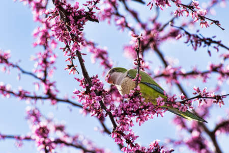 Wild beautiful ring-necked parakeet parrots eating the pink flowers of the Judas tree