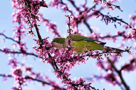 Wild beautiful ring-necked parakeet parrot eats the pink flowers of the Judas tree